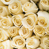 beautiful white roses background