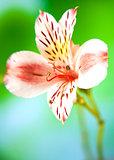 Alstroemeria lily flower macro