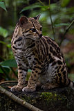 ocelot close up