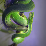 Green Tree Pyton