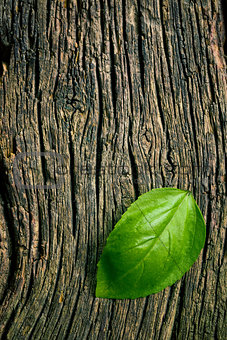 green leaf of basil on grungy wooden background