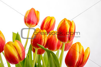 Beautiful orange red tulips on pure white background