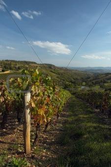 Beaujolais' vine