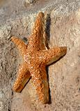 Concrete Star Fish