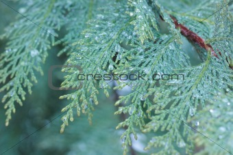 Cypress macro