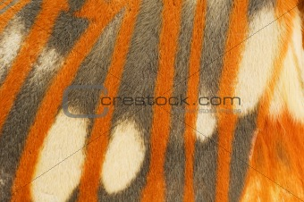 Regal Moth wing close-up