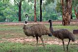 two emus
