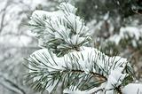Snow falling on branch of pine tree.