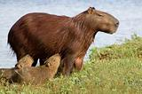 Capibara and her young