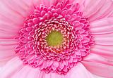 pink zinnia centre