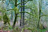 Mossy Woods