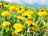 Yellow dandelion flowers with leaves in green grass, spring phot