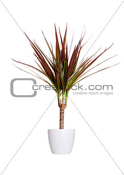 Houseplant - dracaena marginata a potted plant isolated over whi