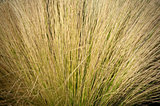 Savannah Grass Background
