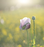Purple poppy flower portrait in Summer sunlight