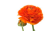 Orange Persian buttercup. Ranunculus asiaticus