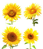 Collection of sunflowers