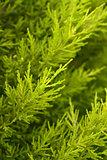 Pine Cypress