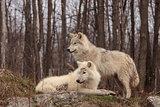 Arctic wolf pair