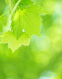 Fresh green foliage background