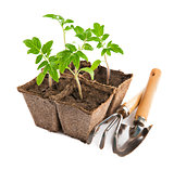 Seedlings tomato with garden tools