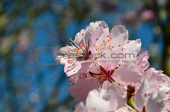 Almond Blossom (Prunus dulcis) during spring in tree close-up
