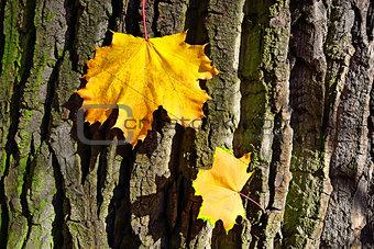 Bright maple suns