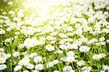 White Daisies Meadow