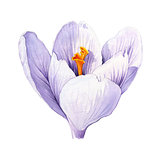Crocus. Watercolor illustration