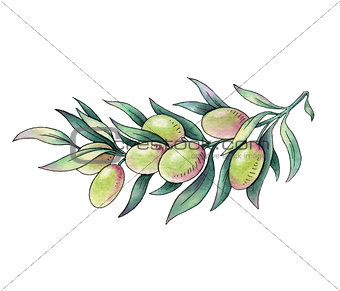 Olive branch. Watercolor illustration