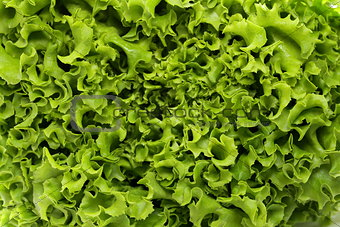 great fresh organic green lettuce background