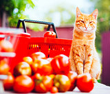 Cat With Fresh Tomatoes