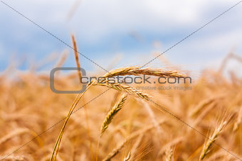 Golden Barley Ears