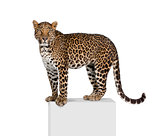 Portrait of leopard, Panthera pardus, on pedestal against white background, studio shot