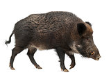 Wild boar, also wild pig, Sus scrofa, 15 years old, against whit