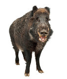 Wild boar, also wild pig, Sus scrofa, 15 years old, portrait sta