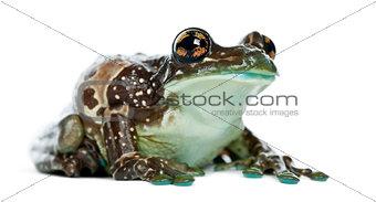 Amazon Milk Frog, Trachycephalus resinifictrix, against white ba