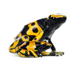 Yellow-Banded Poison Dart Frogs, also known as a Yellow-Headed P
