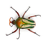 Male Flamboyant Flower Beetle or Striped Love Beetle, Eudicella