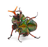 Fighting Flamboyant Flower Beetles or Striped Love Beetle, Eudic