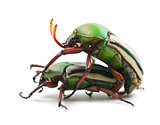 Mating Flamboyant Flower Beetles or Striped Love Beetle, Eudicel