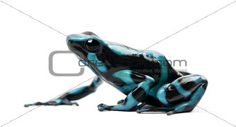 Green and Black Poison Dart Frog or the Green and Black Poison A