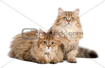 British Longhair cat, 4 months old, sitting against white backgr