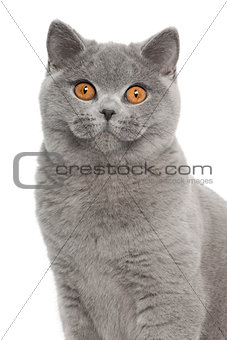 Portrait of British Shorthair cat, 5 months old, in front of white background