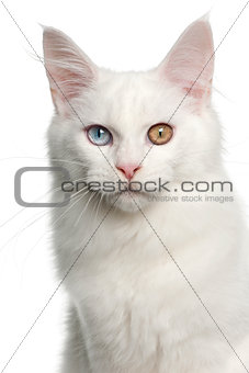 Portrait of Maine Coon cat, 5 months old, in front of white background