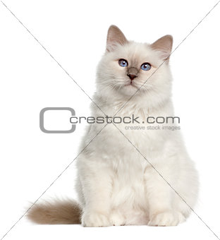 Portrait of Birman cat, 6 months old, sitting in front of white background