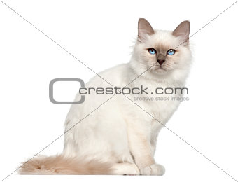 Portrait of Birman cat, 5 months old, sitting in front of white background