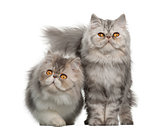 Portrait of Persian cat, 7 months old,, sitting in front of white background