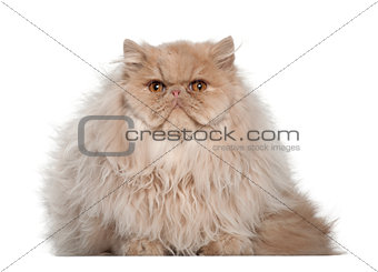 Portrait of Persian cat, 5 months old, sitting in front of white background
