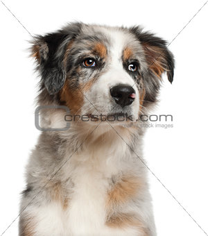 Close up of Australian Shepherd, 5 months old, in front of white background